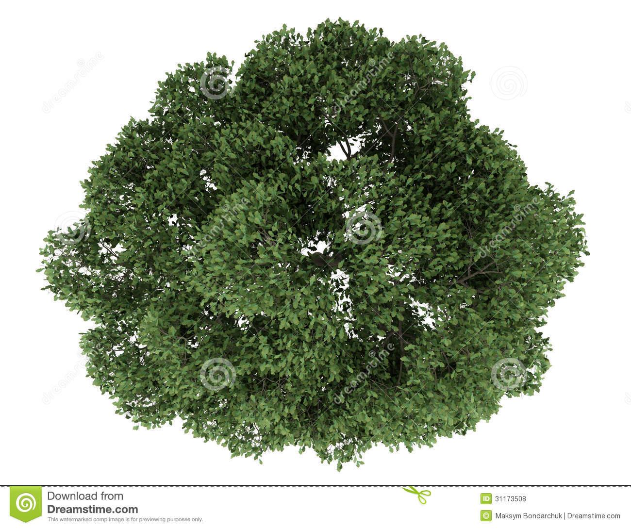 Oak Tree Top View