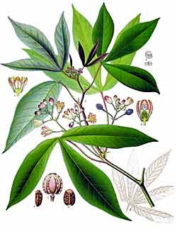 Cassava Plant in Tropical Rainforest
