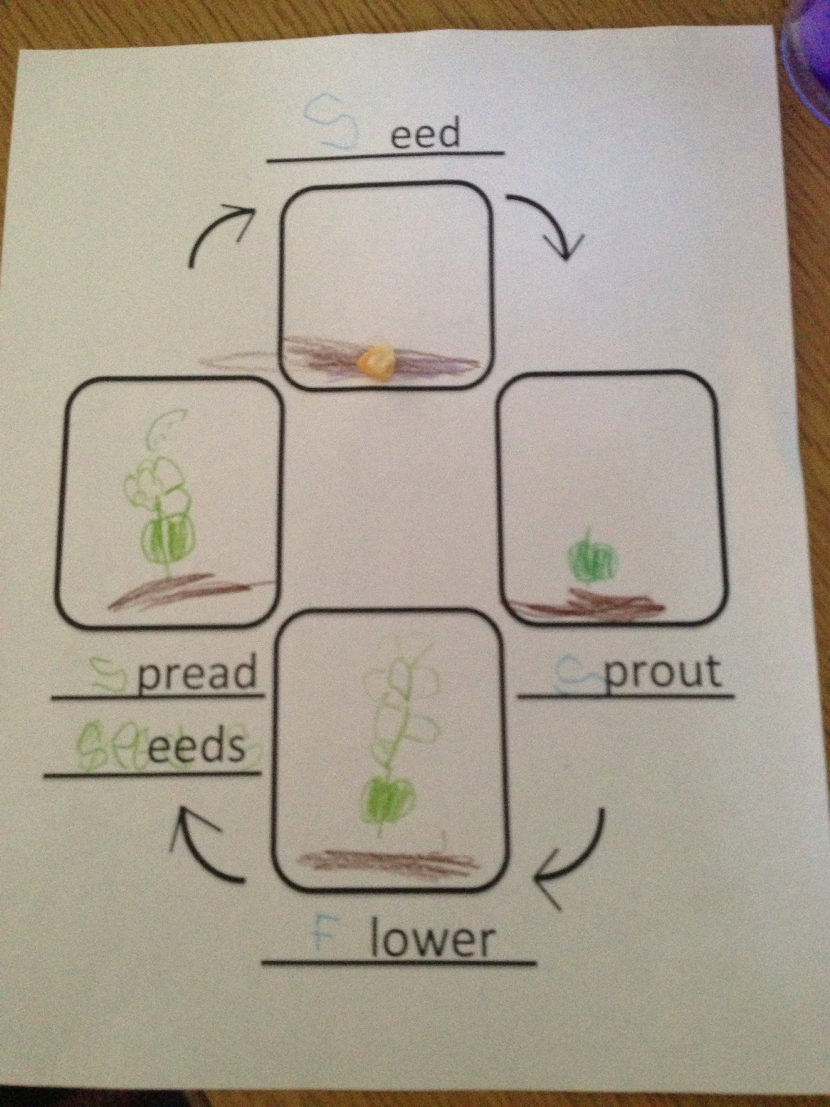 Plant Life Cycle Graphic Organizer