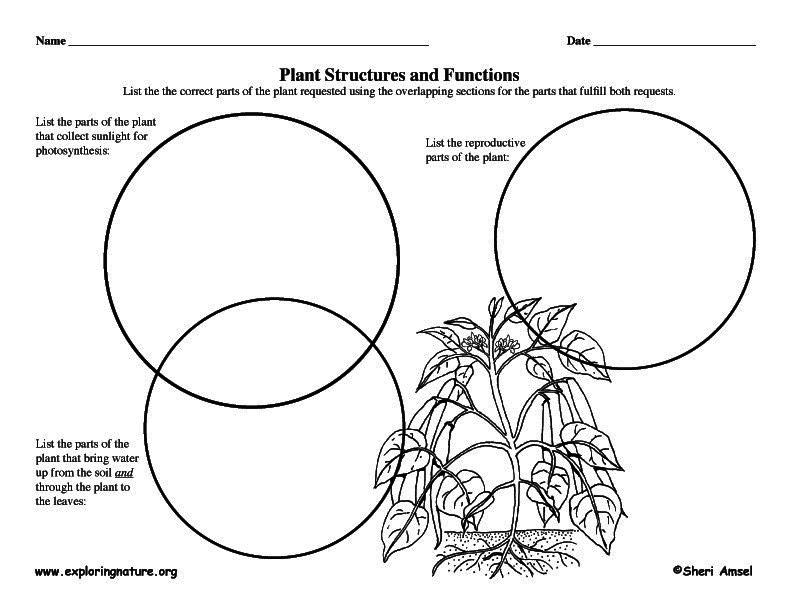 Plant Structures Graphic Organizer