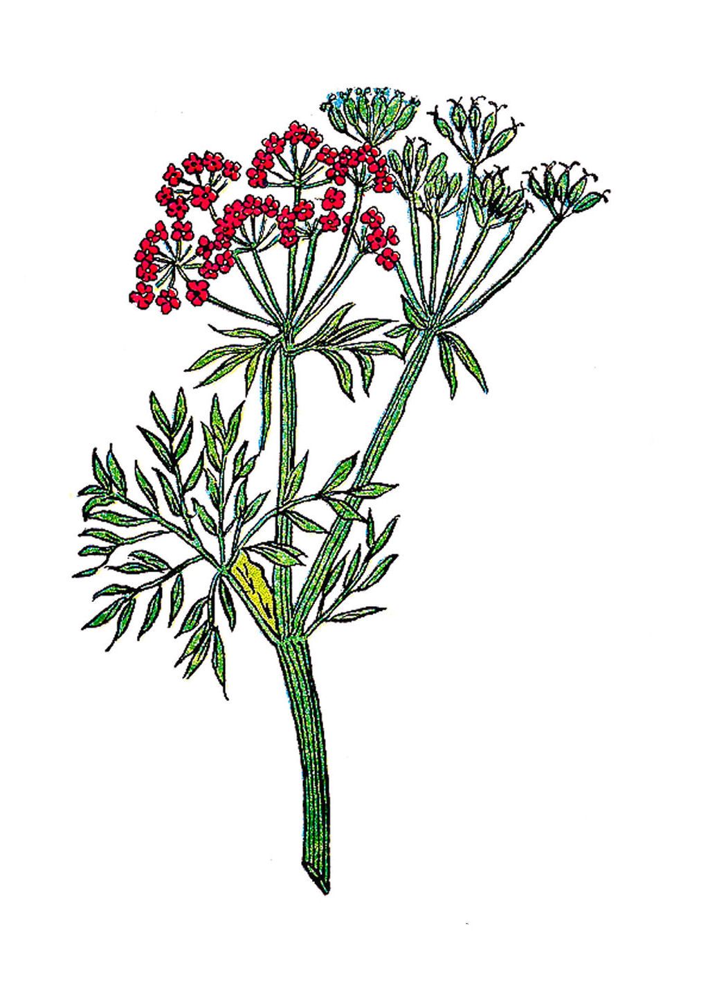 Vintage Botanical Illustration Plant