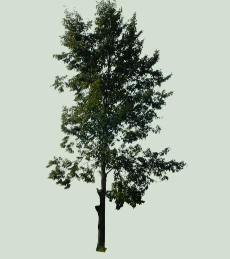 Photoshop Tree PSD