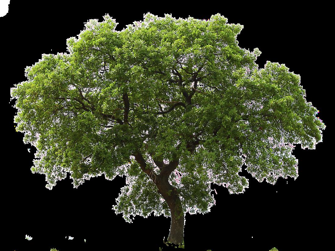 Transparent Oak Tree