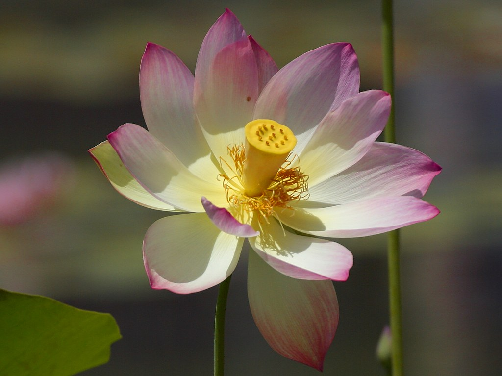 Beautiful Lotus Flower Pictures Free