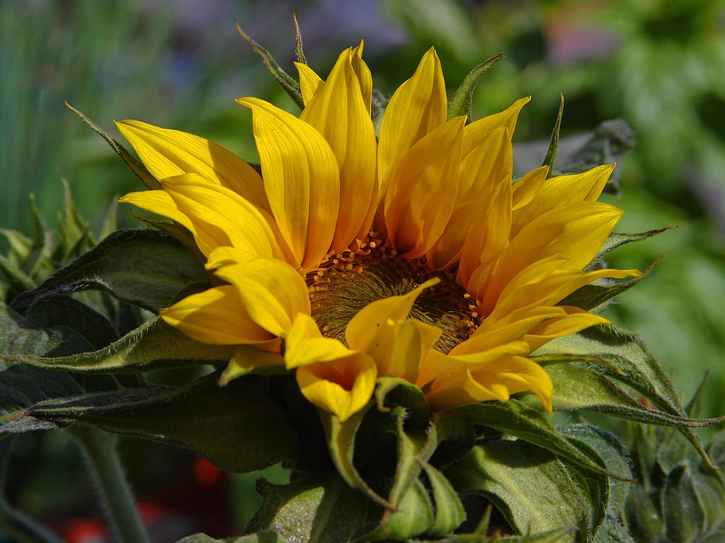 Public-Domain Images Sun Flower