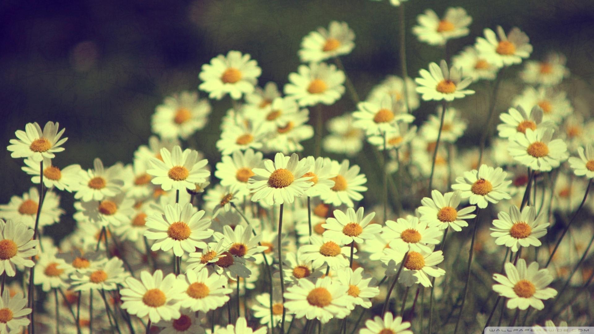 Tumblr Daisies Photography