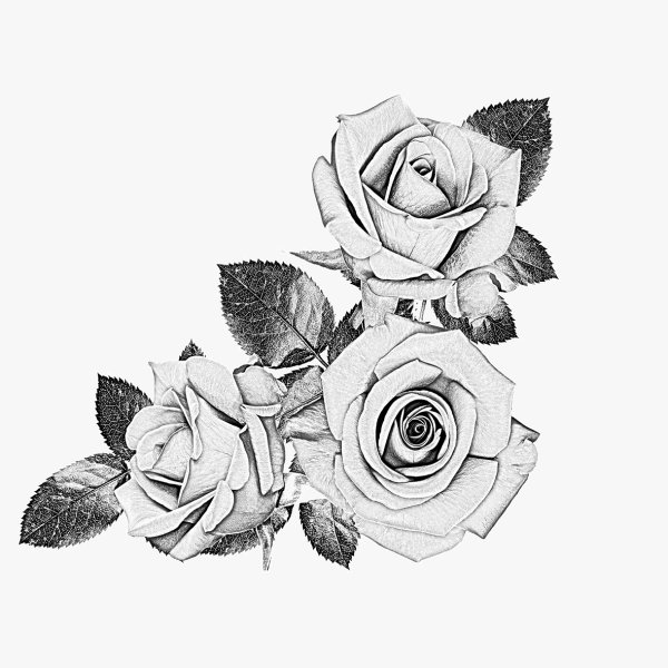 Black and White Rose Sketches