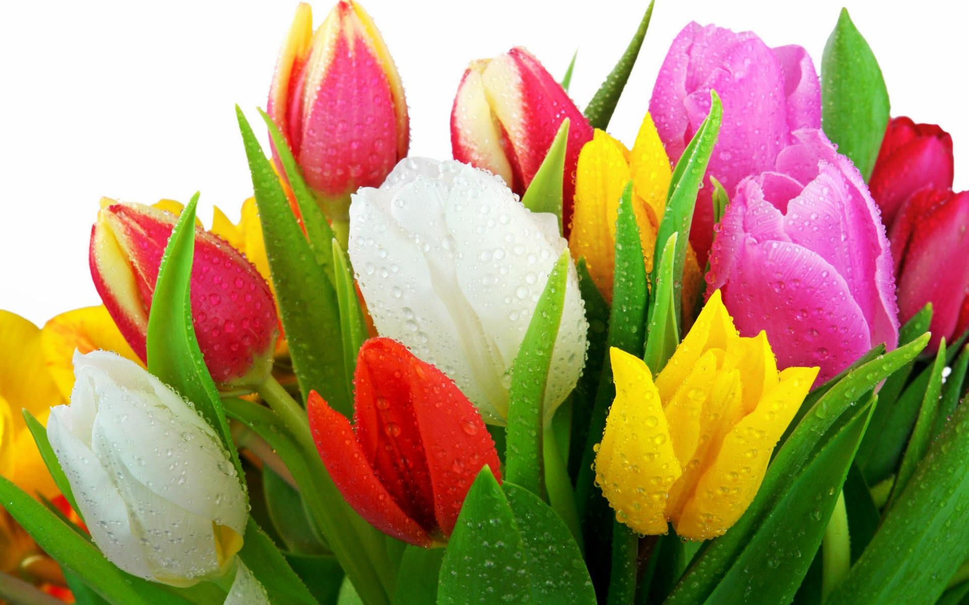 Free Screensavers Flowers Tulips
