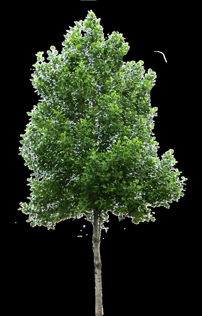 Small Birch Trees
