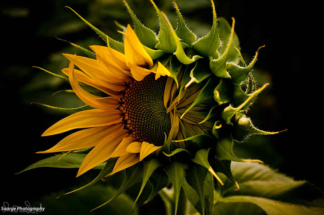 Sunflower Flowers Pictures and Stuff