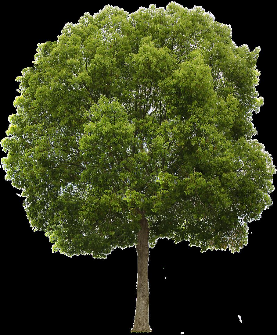 Tree Transparent Texture