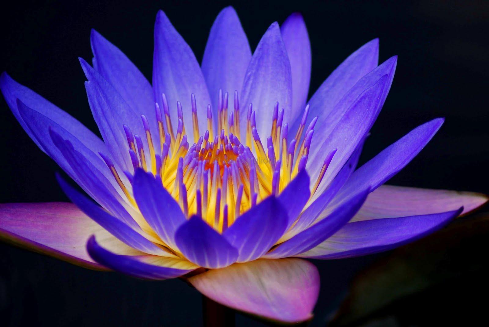 Water Lilies Flowers