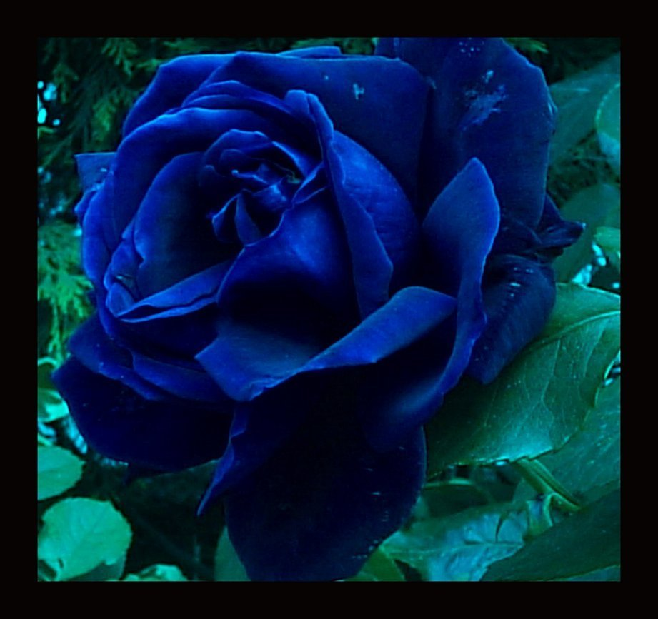 12 blue rose vector images rose vector blue rose meaning and blue rose meaning buycottarizona