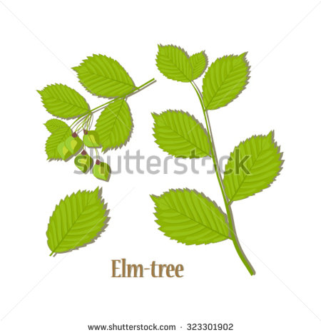 White Elm Tree Leaves and Seeds