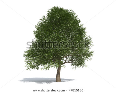 White Elm Tree