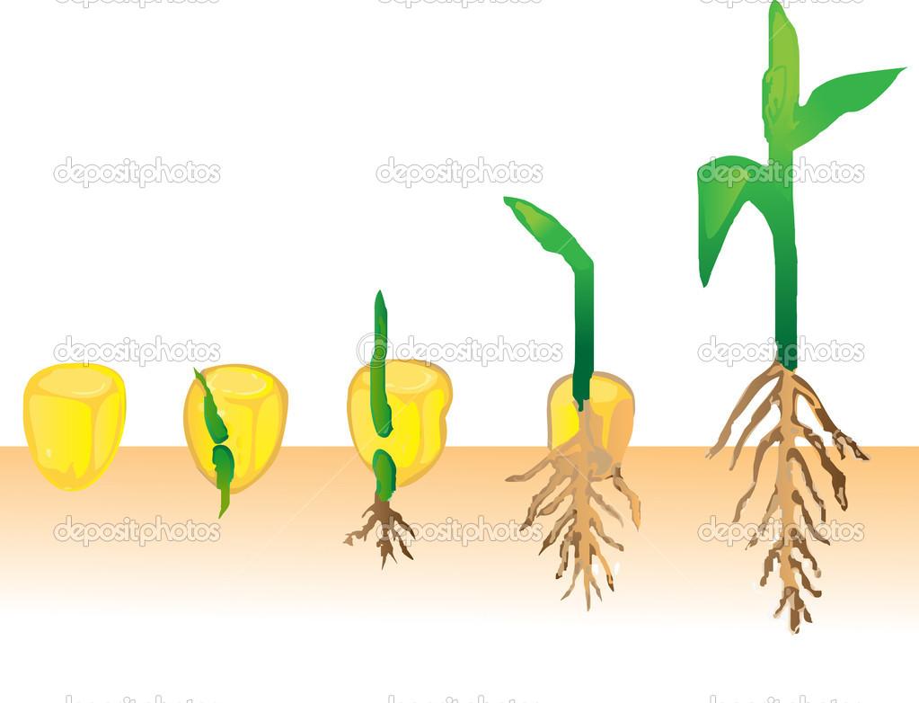 Corn Seed Germination
