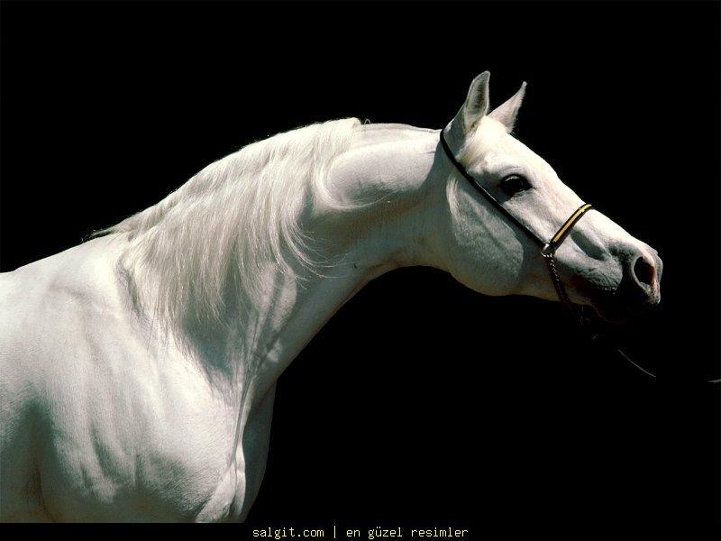 Beautiful White Arabian Horse
