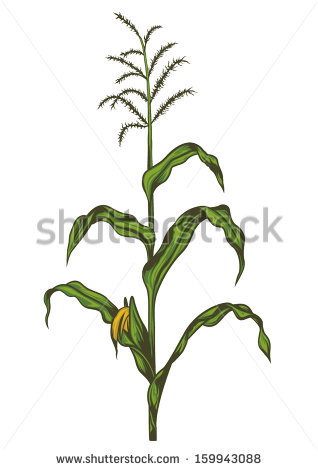17 harvest cornstalk vector images corn stalk clip art
