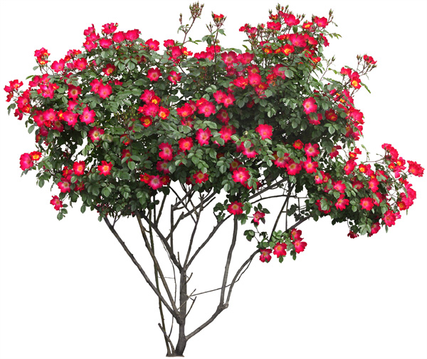 Transparent Tree with Red Flowers