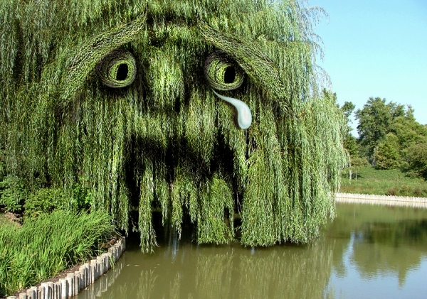 15 weeping willow graphic images
