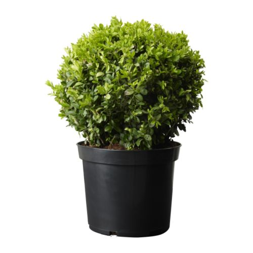 Boxwood Potted Plants