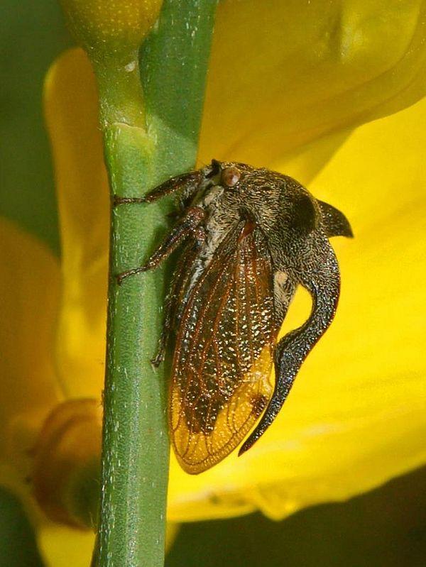 Cornutus Centrotus