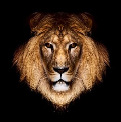 13 Lion Face PSD Images