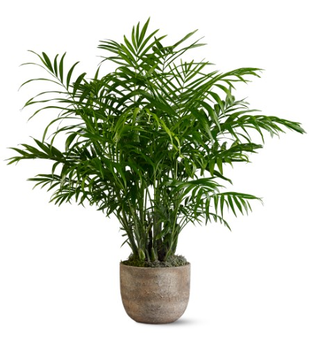 Potted Palm Tree Plants