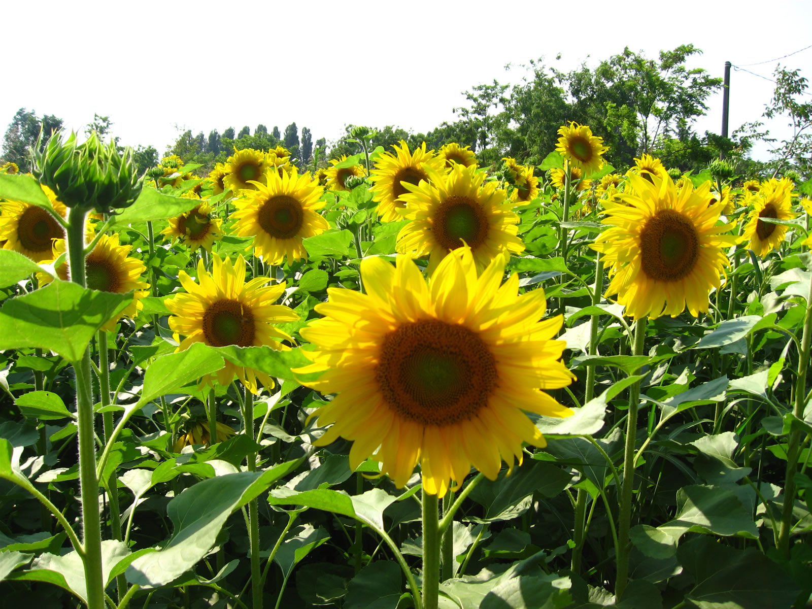 Sunflowers Plants and Flowers