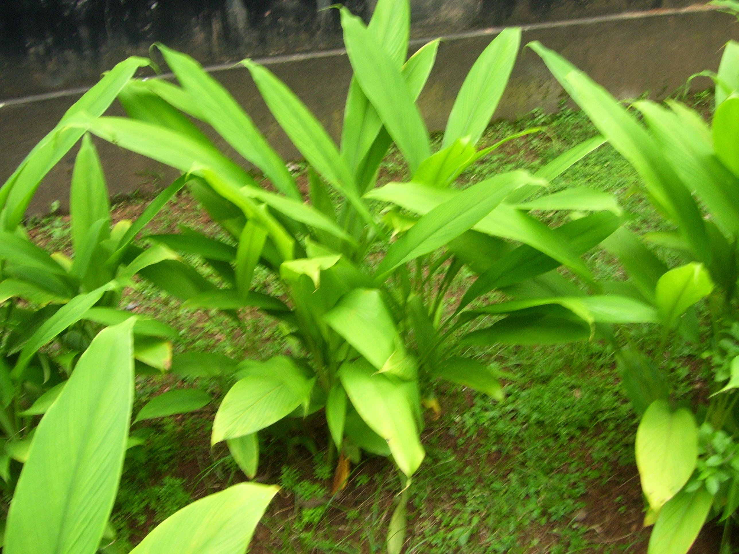 Turmeric as a Plant