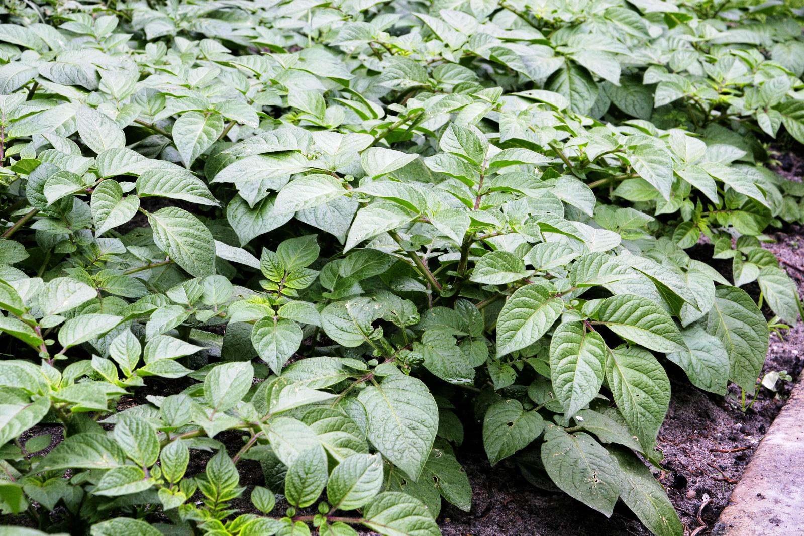 What Plants Look Like Potatoes