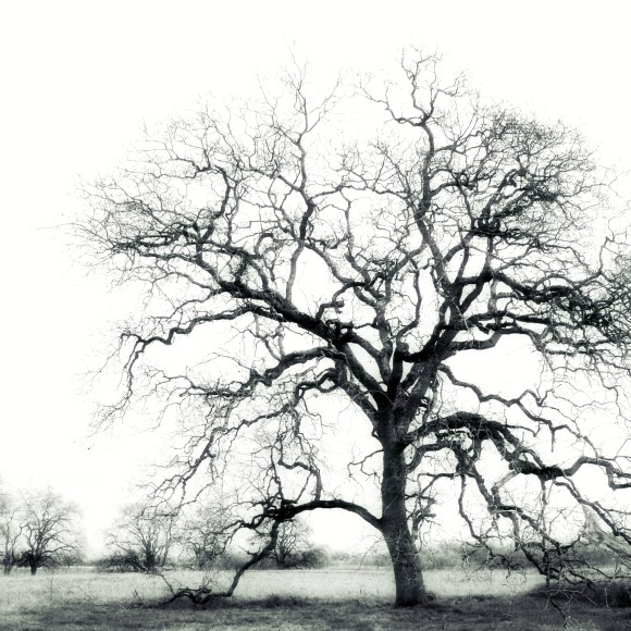 Black and White Oak Trees Winter