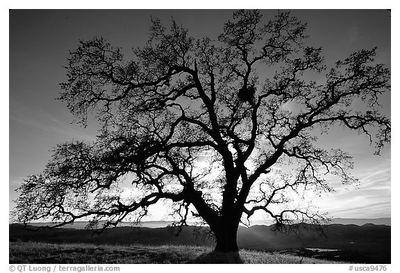 Oak Tree Black and White Photography