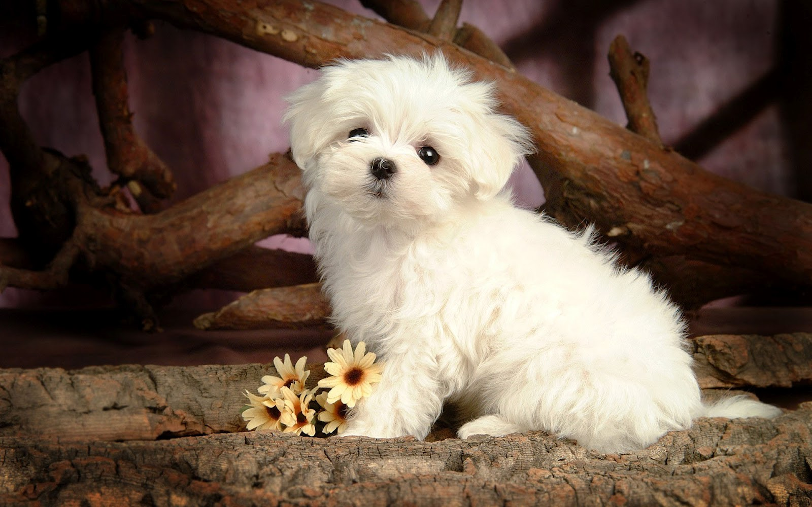 Cute Little Maltese Dog