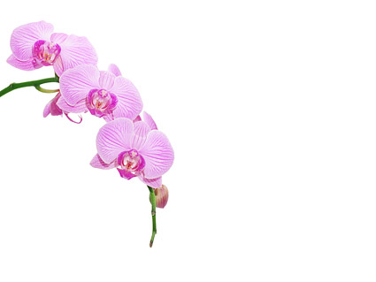 Cartoon Orchid Flower