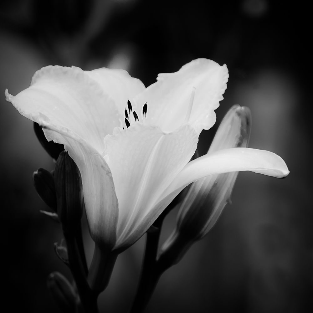 7 black and white photography flowers images tumblr black and black and white flowers mightylinksfo