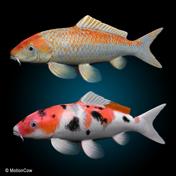 14 koi fish graphics images koi fish clip art free live for Koi fish varieties