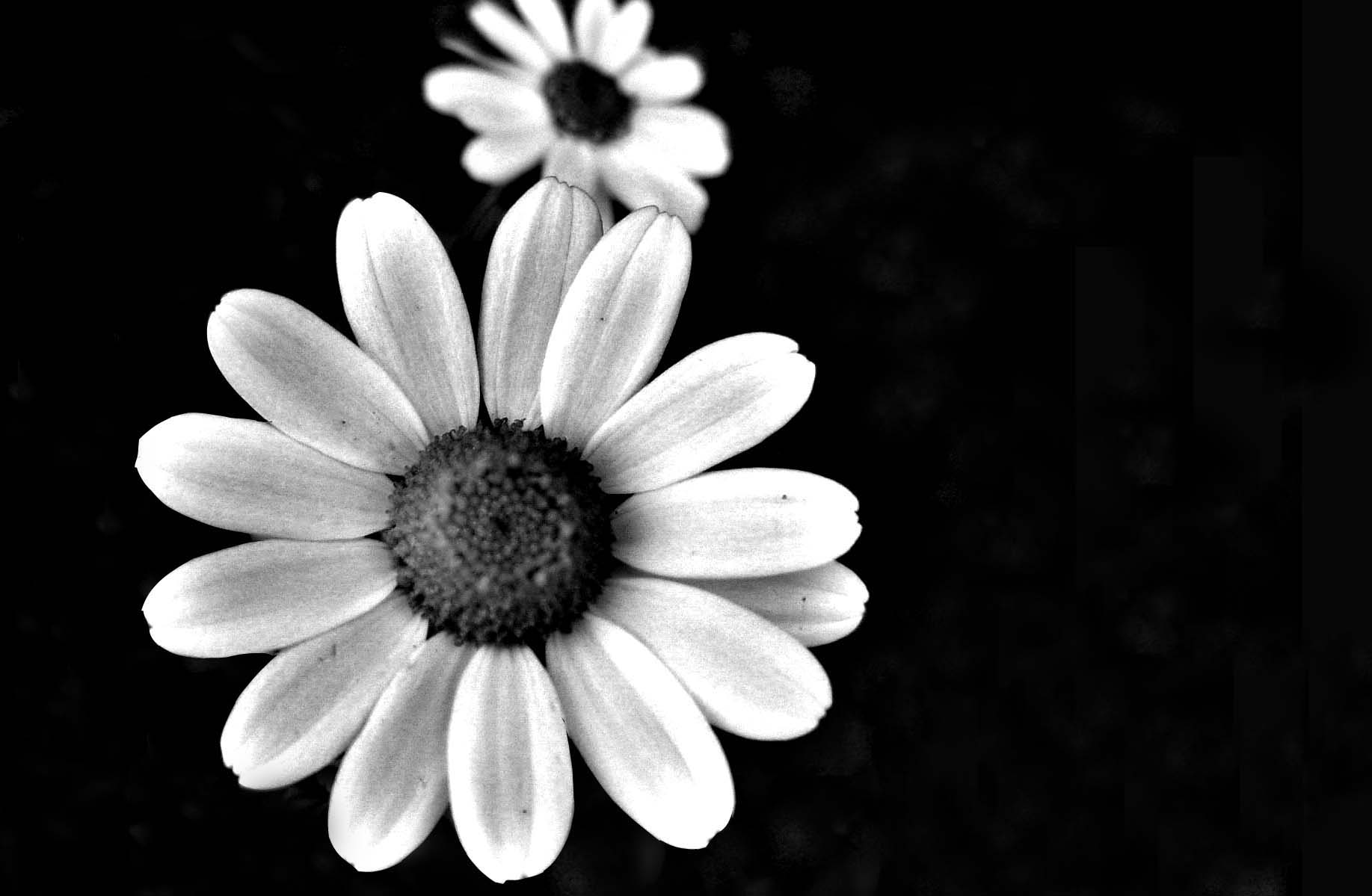 Tumblr black and white flowers