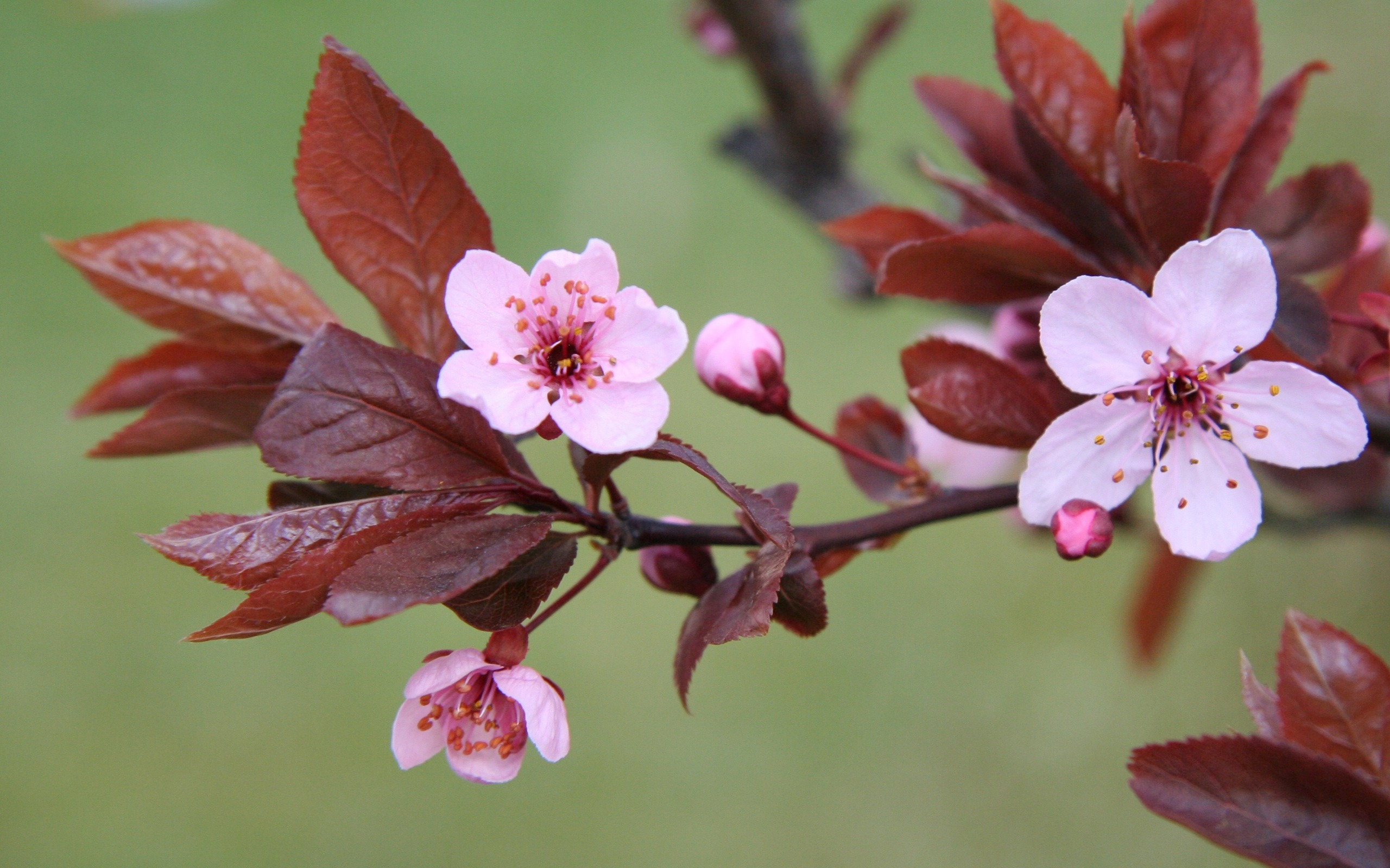 13 Cherry Blossom Branch Photography Images - Cherry ...
