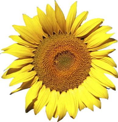 Sunflower PSD