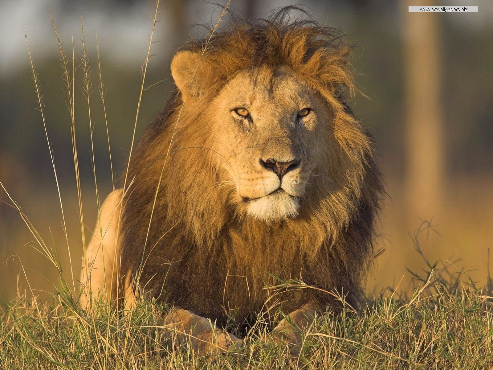 African Lions Wild Animals