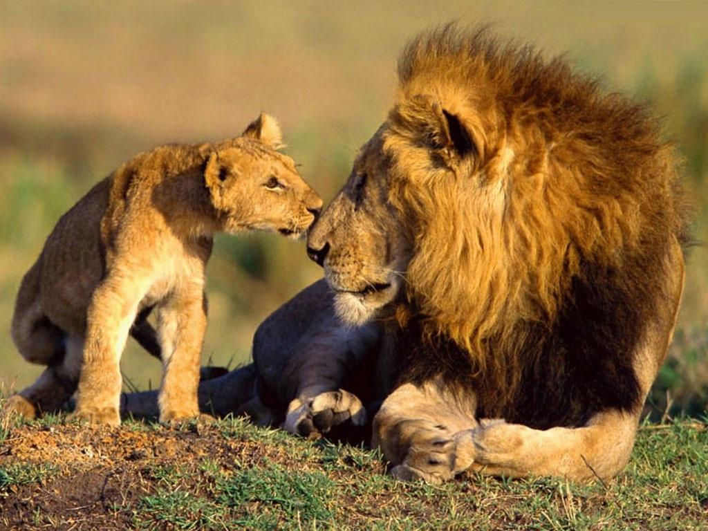 Wildlife African Animals Lions