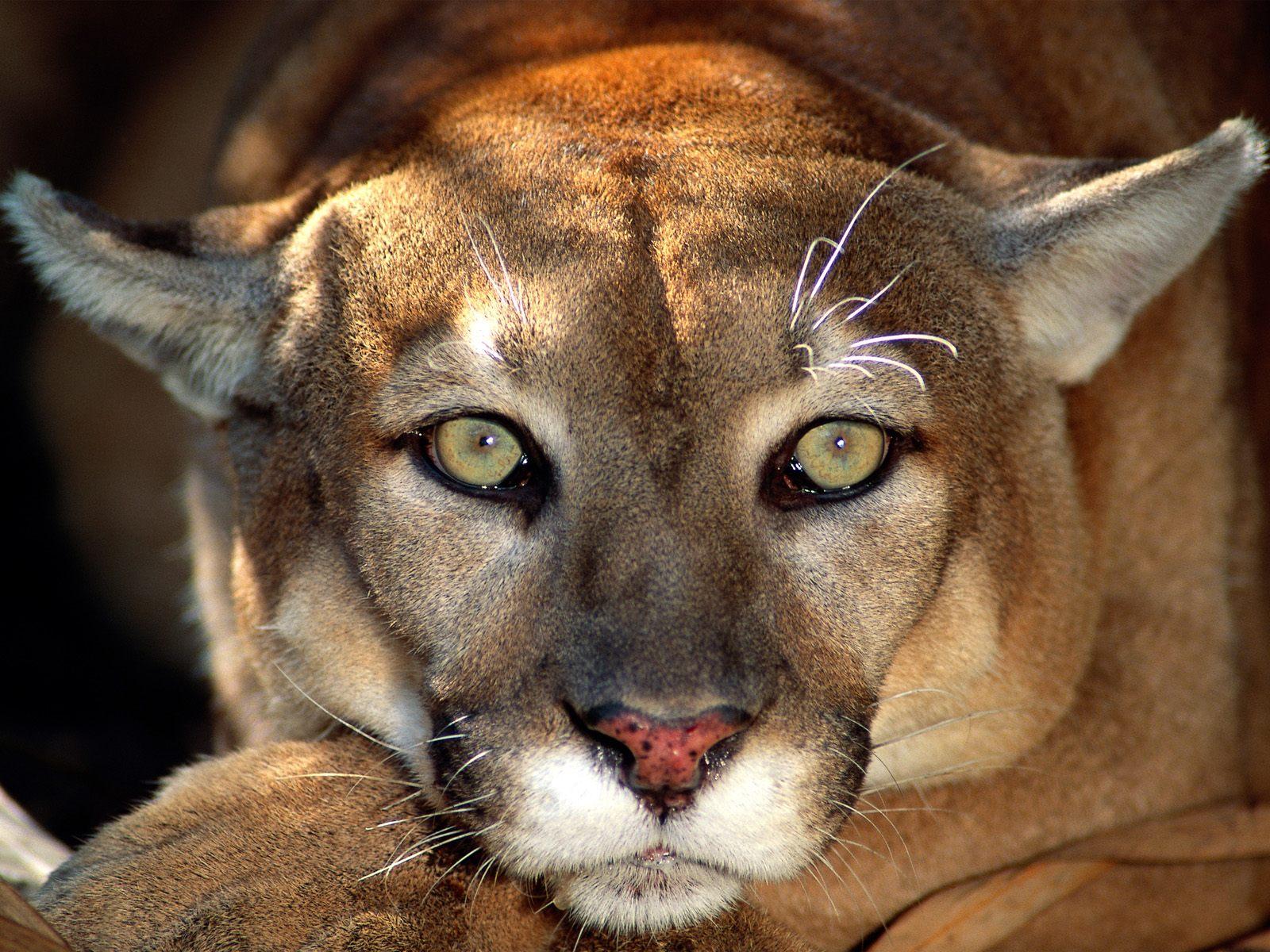 Animal Cougar Mountain Lion