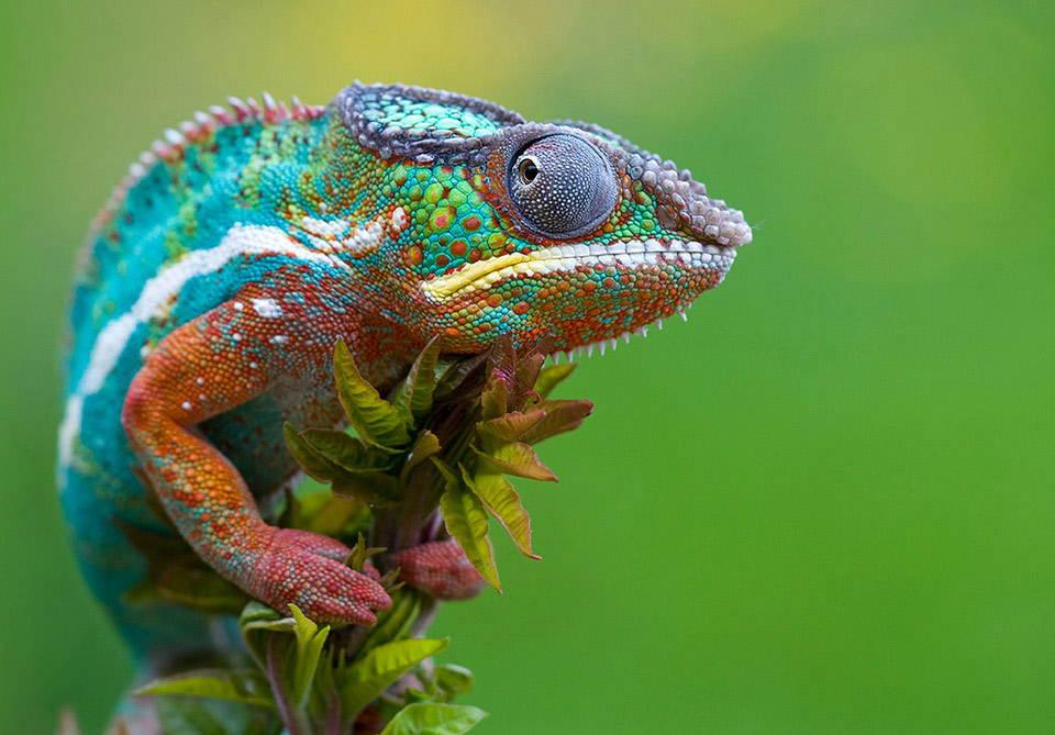 Cool Chameleon