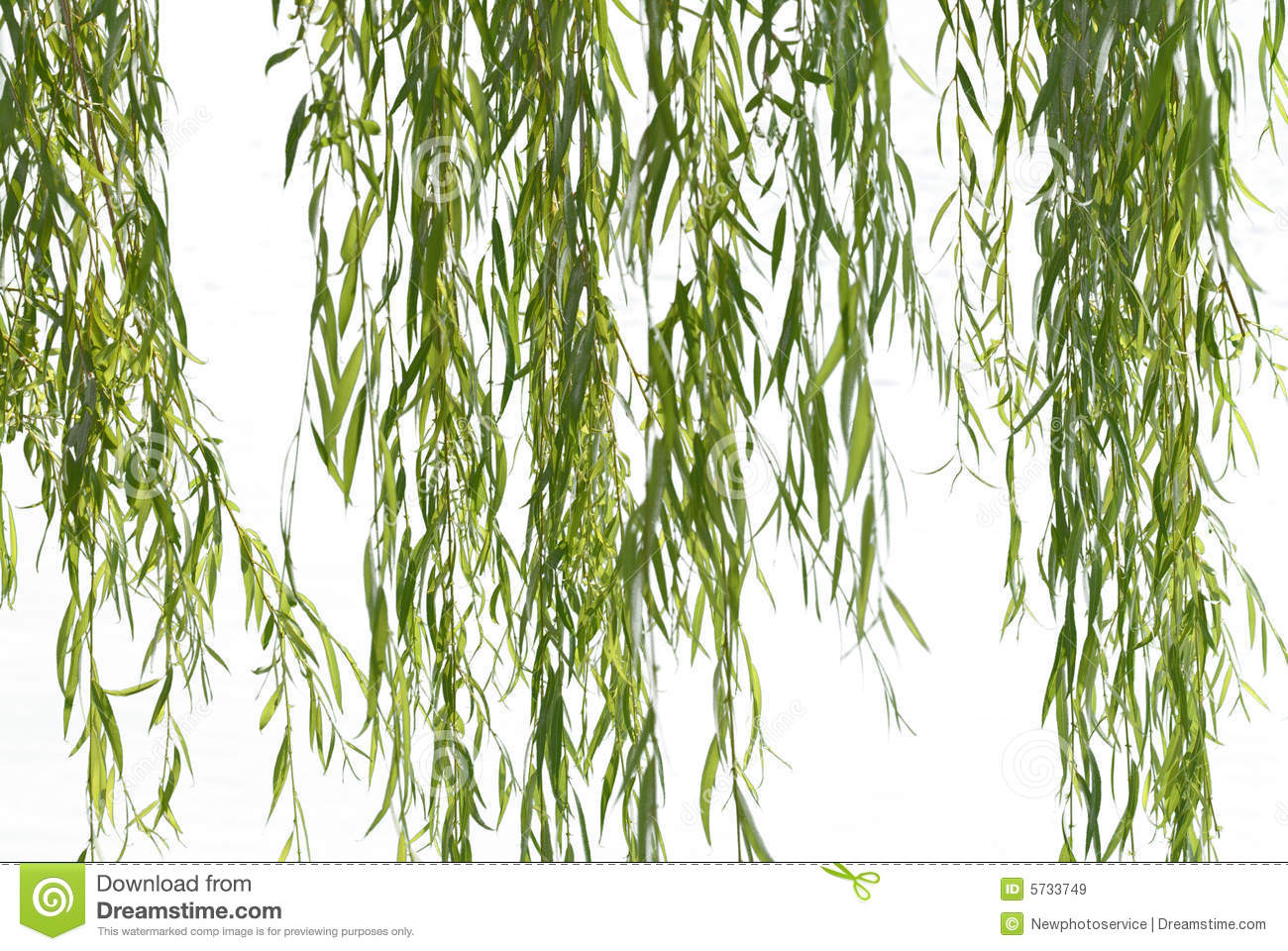 17 Weeping Willow Branches Vector Images
