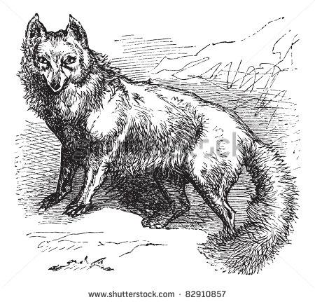 Arctic Fox Vector
