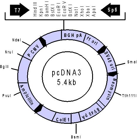 5 Pcdna3.1 Vector Map Flag Images