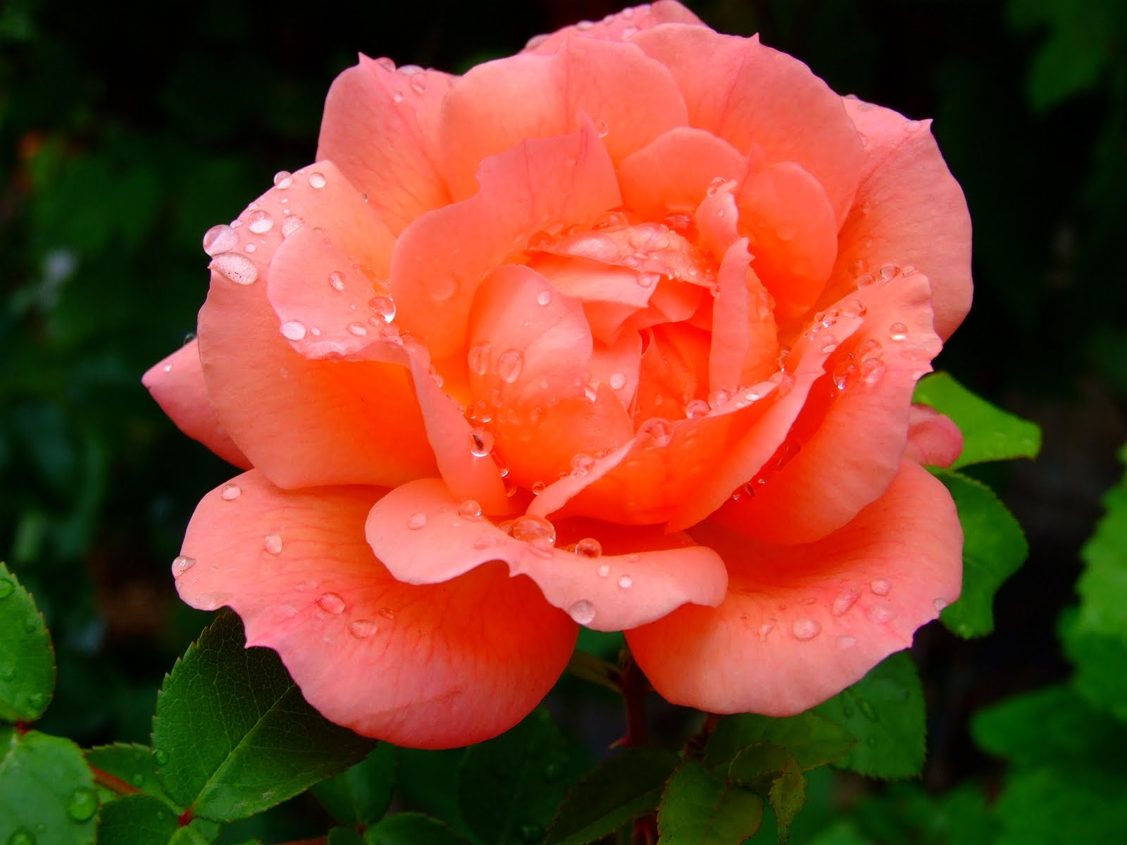11 Dozen Wet Red Rose PSD Images