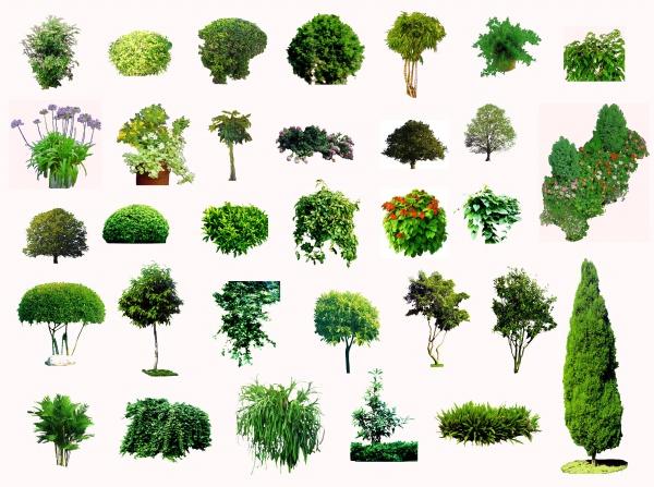 Ornamental Evergreen Trees Plant