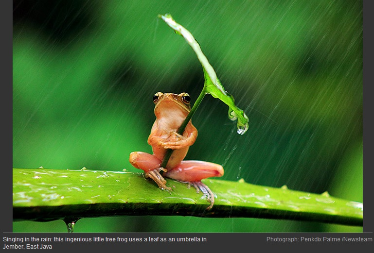 Frog with Leaf in Rain